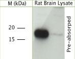 NB100-91352 - VAMP-2 / Synaptobrevin-2