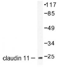 NB100-91709 - Claudin-11 / CLDN11