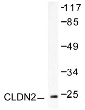 NB100-91710 - Claudin-2 / CLDN2
