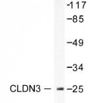 NB100-91711 - Claudin-3 / CLDN3