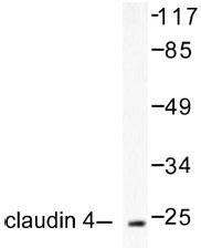 NB100-91712 - Claudin-4 / CLDN4