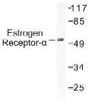 NB100-91758 - Estrogen receptor alpha