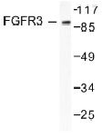 NB100-91767 - CD333 / FGFR3