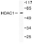 NB100-91800 - HDAC1