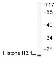 NB100-91814 - Histone H3.1
