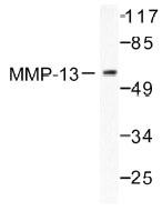 NB100-91871 - MMP-13