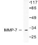NB100-91879 - MMP-7