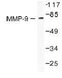 NB100-91881 - MMP-9