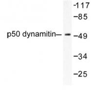 NB100-91910 - Dynactin subunit 2