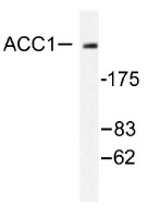 NB100-92011 - Acetyl-CoA carboxylase 1