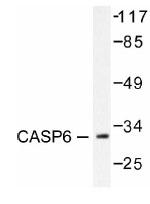 NB100-92020 - Caspase-6