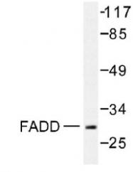 NB100-92032 - FADD