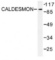 NB100-92069 - Caldesmon