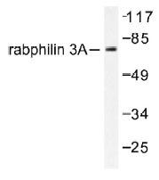NB100-92221 - Rabphilin-3A / RPH3A