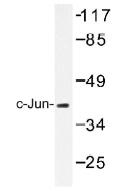 NB100-92257 - AP-1 / c-Jun