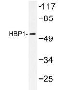 NB100-92288 - HBP1