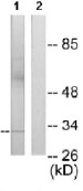NB100-92408 - Max-like protein X