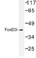 NB100-92410 - FOXD3 / HFH2