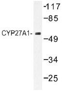 NB100-92422 - CYP27A1