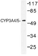 NB100-92426 - CYP3A4