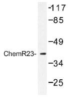 NB100-92428 - Chemokine receptor-like 1