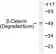 NB100-92489 - Catenin beta-1