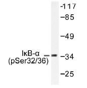 NB100-92563 - NFKBIA / IKBA