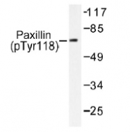 NB100-92611 - Paxillin /  PXN
