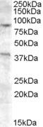 NB100-93394 - Exonuclease 1 (EXO1)