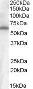 NB100-93397 - CD344 / FZD4 / Frizzled-4