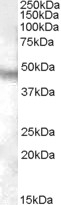 NB100-93424 - Neuropeptide FF receptor 1