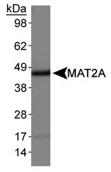 NB110-94158 - MAT2A