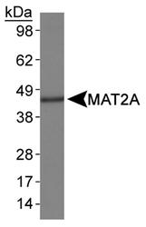NB110-94162 - MAT2A