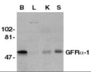 NB100-94313 - GFRA1 / GDNFR-alpha