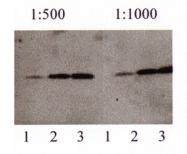 NB300-226 - Amyloid beta