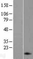 NBL1-13752 - proANP Lysate