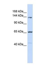NBP1-59205 - Protocadherin-12 / PCDH12