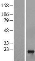 NBL1-17354 - sen15 Lysate