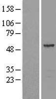 NBL1-07152 - septin 11 Lysate