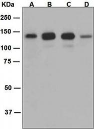 NBP1-95167 - ARHGAP34 / SRGAP2