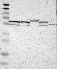 NBP1-87001 - Synaptotagmin-12