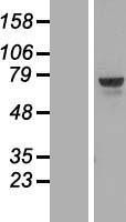 NBL1-17200 - thymocyte selection-associated high mobility group box Lysate