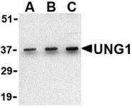 NBP1-77259 - Uracil-DNA glycosylase (UNG)