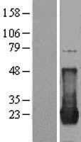 NBL1-11703 - vH RAS Lysate