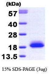 NBP1-30228 - Visinin-like protein 1 / HLP3