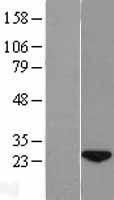 NBL1-08565 - wdyhv1 Lysate