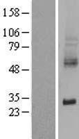 NBL1-16185 - xCT Lysate