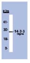 NBP1-46954 - 14-3-3 protein sigma / SFN