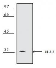 NB100-1964 - 14-3-3 protein beta+zeta