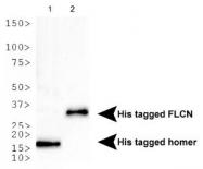 NB100-64768 - 6xHistidine Epitope Tag